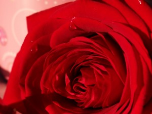 rose rosée Saint Valentin