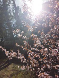 prunier en fleur printemps 2017
